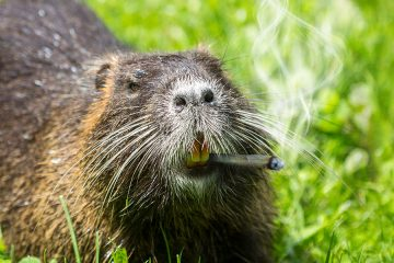 pot smoking beaver