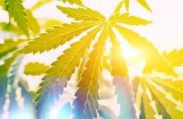 aurora-buys-cbd-grower-big-potential