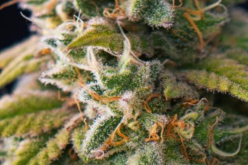 marijuana bud mj
