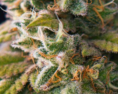 marijuana bud mj
