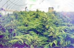 cannabis / marijuana supply / greenhouses - mj