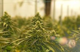 marijuana-supply-greenhouse-12