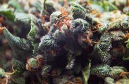 specialty-marijuana-trend